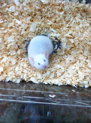 White mouse rescued by Jersey City Cat Rescue